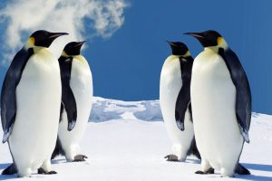 4 Brother Penguins Wide