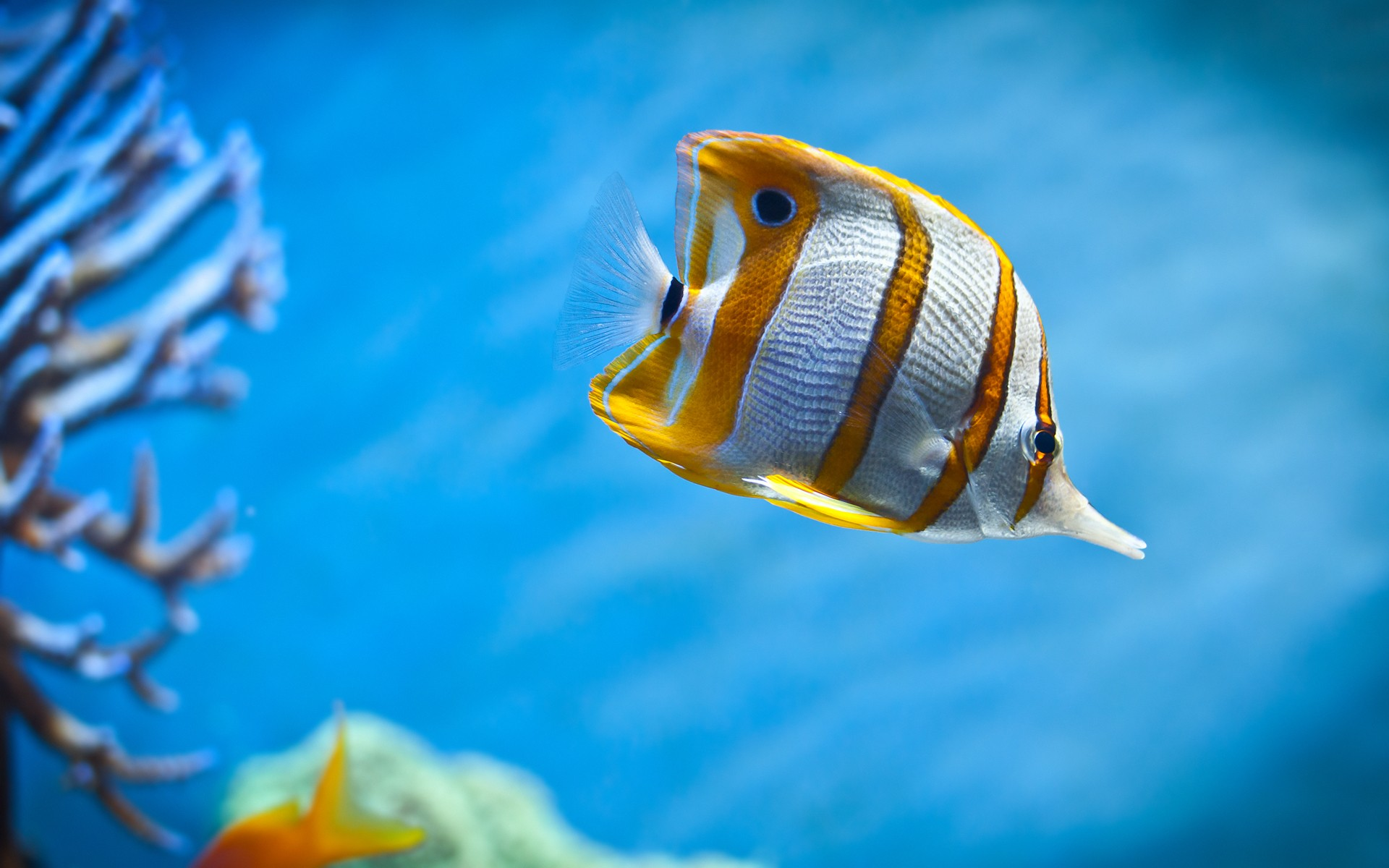 Amazing Copperband Butterfly Fish Wide