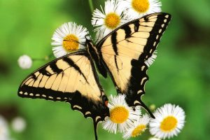 Amazing Tiger Swallowtail Butterfly Wide