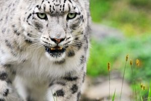Angry White Tiger Wide