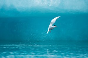 Arctic Tern fishing in Jokulsarlon Lake, Iceland