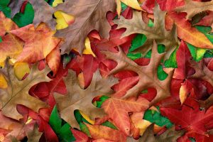 Autumn Leaves – Fall Leaf Colors-Other
