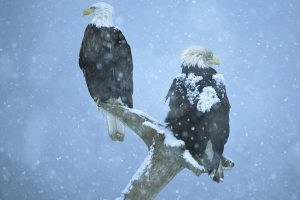 Bald Eagles On Branch