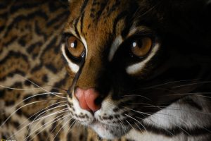 Beautiful Cat National Geographic Wild Animals