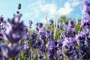 Beautiful Lavander