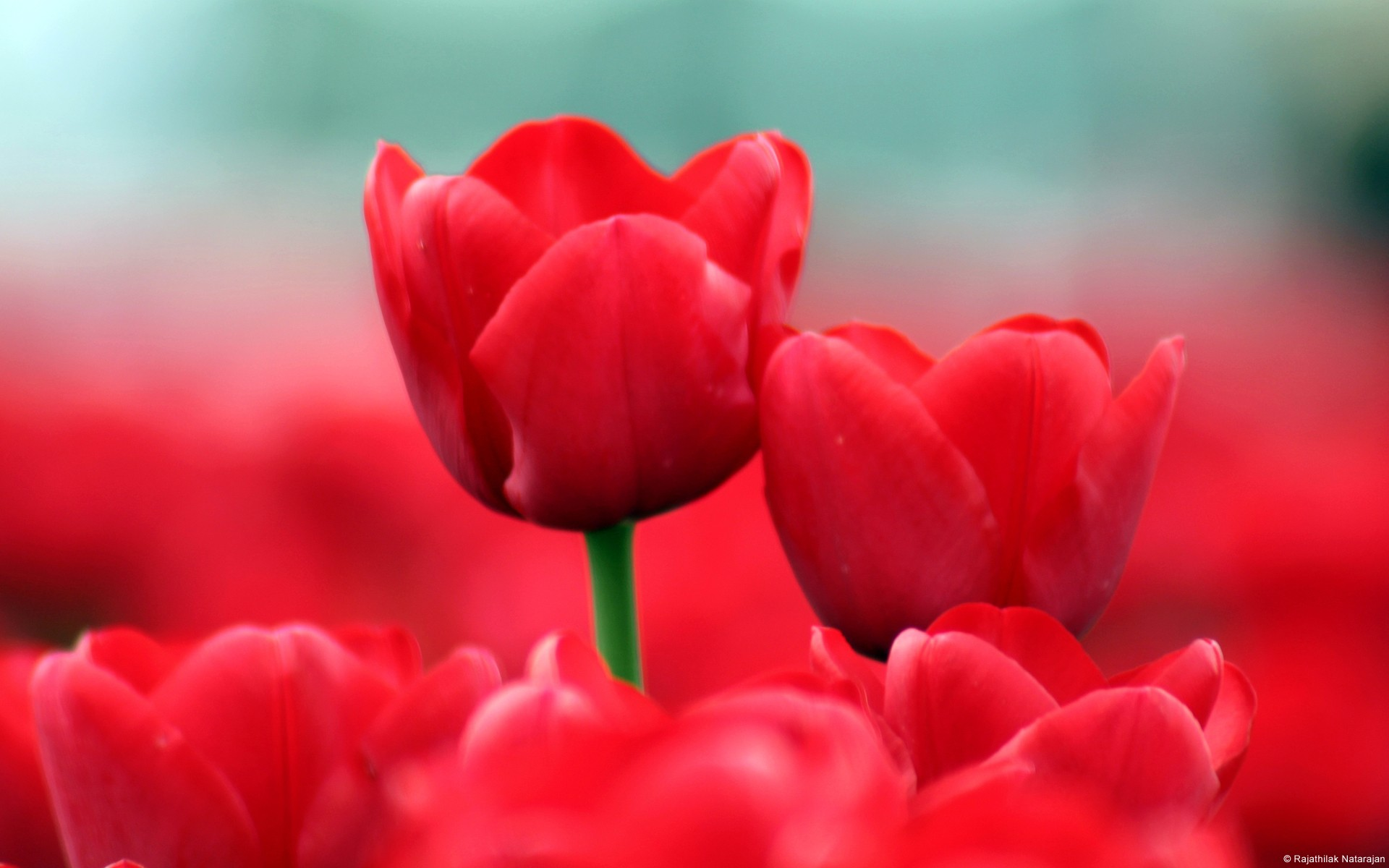 Beautiful Red Tulips Wide
