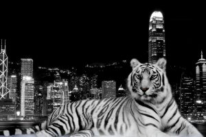 Black And White Tiger In Town Wide