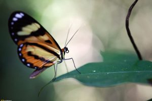 Buttefly On Leaf National Geographic