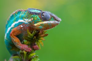 Colorful Chameleon Wide