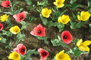 Colorful Tulips Wide