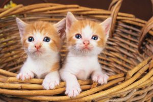 Orange and White Cats