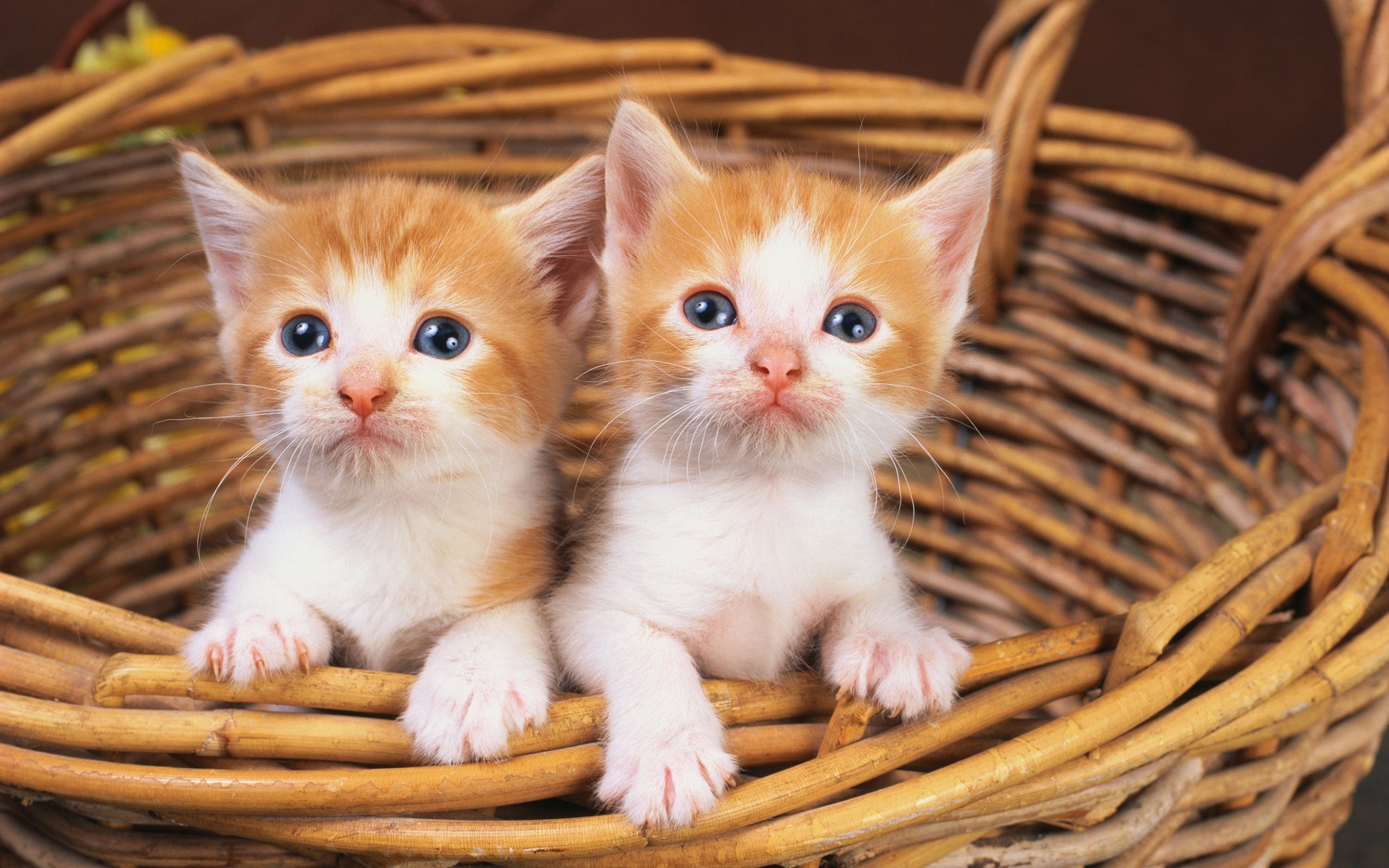 Cute Cat Twins Wide