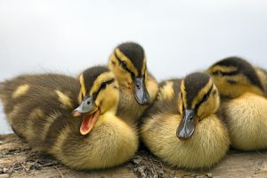 Cute Ducklings Wide
