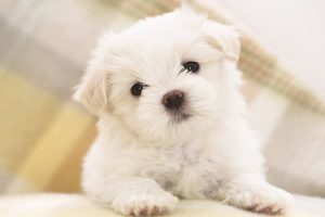 Cute Maltese Puppy Wide