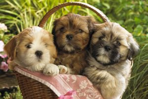 Cute Puppies In The Basket
