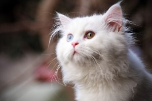 Cute White Cat Wide