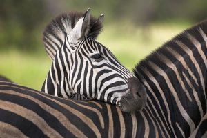 Cute Zebra Wide