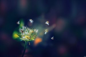 Dandelion Flies Wide