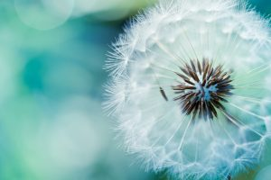 Dandelion Flower Wide