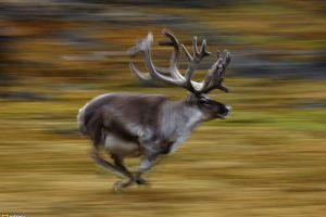Deer Runing In Wild – National Geographic