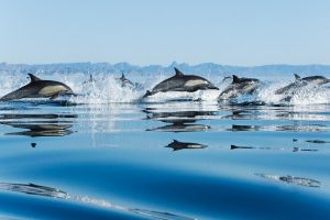 Dolphins In Sea Hunting Wide