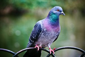 Domestic Pigeon Wide