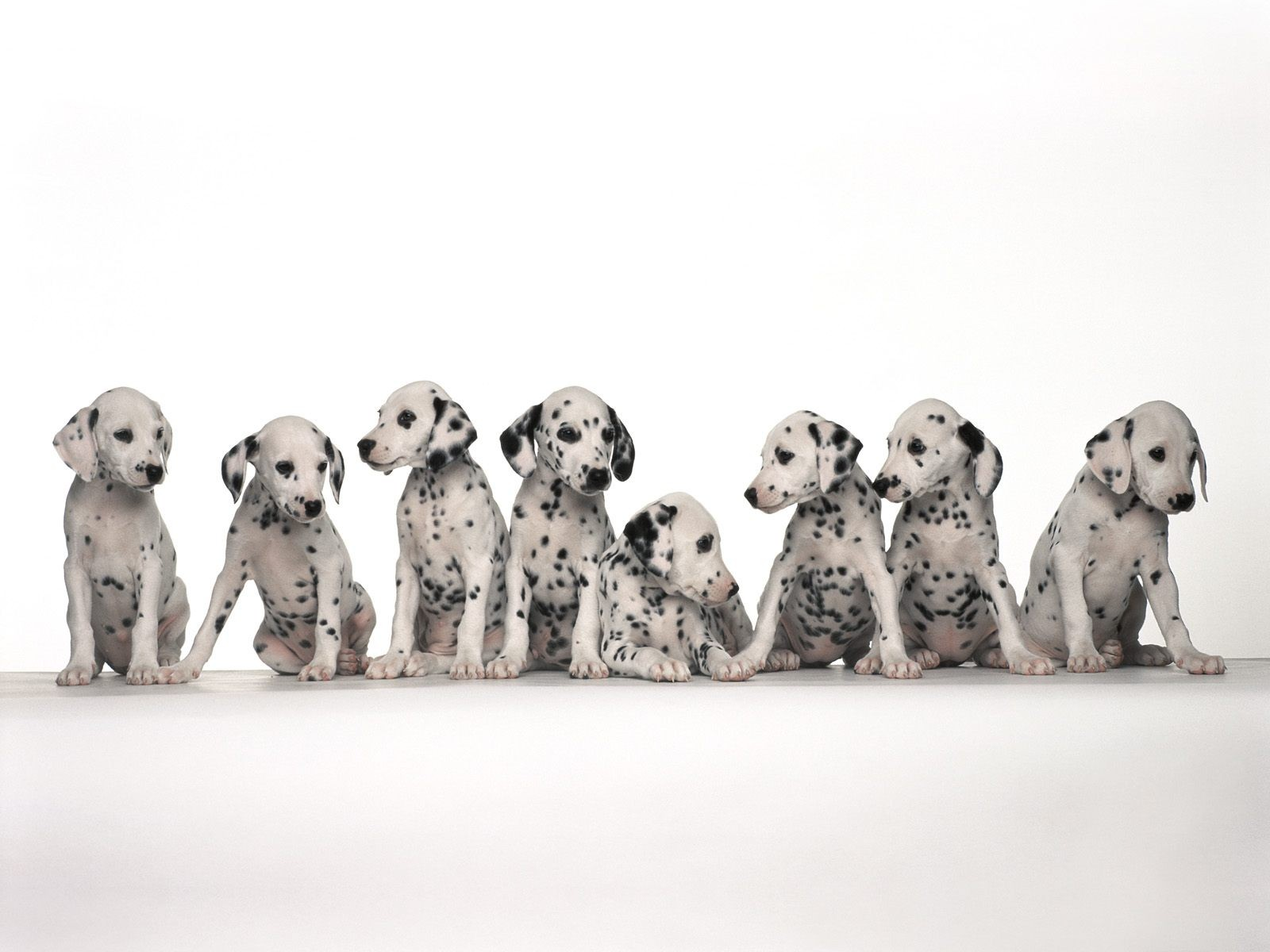 Eight Cute Daintiness Puppys