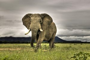 Elephant Poster Wide