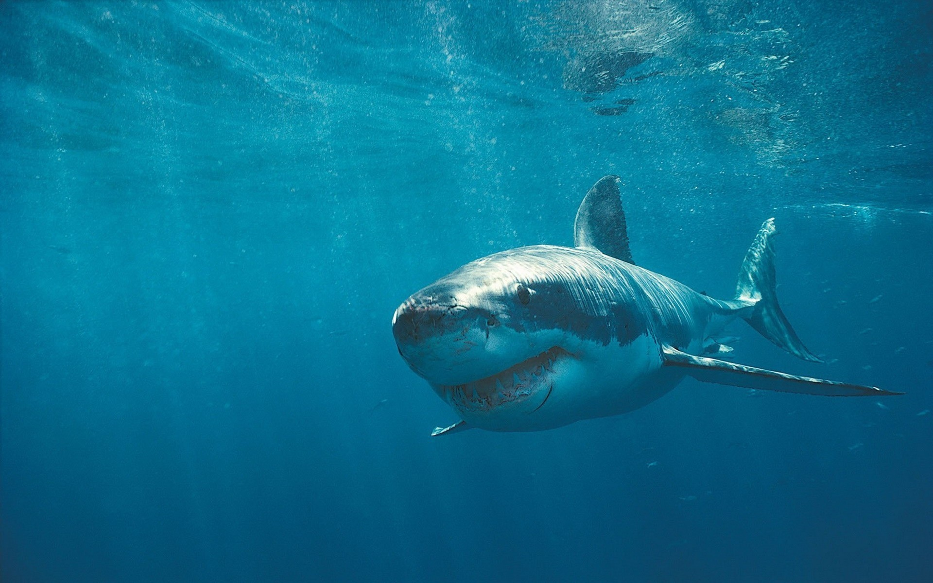 Great White Sharks Wide