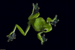 Green Frong Black Background National Geographic