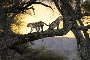 Leopards On Tree Wide