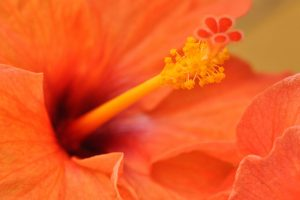Orange Hibiscus Wide