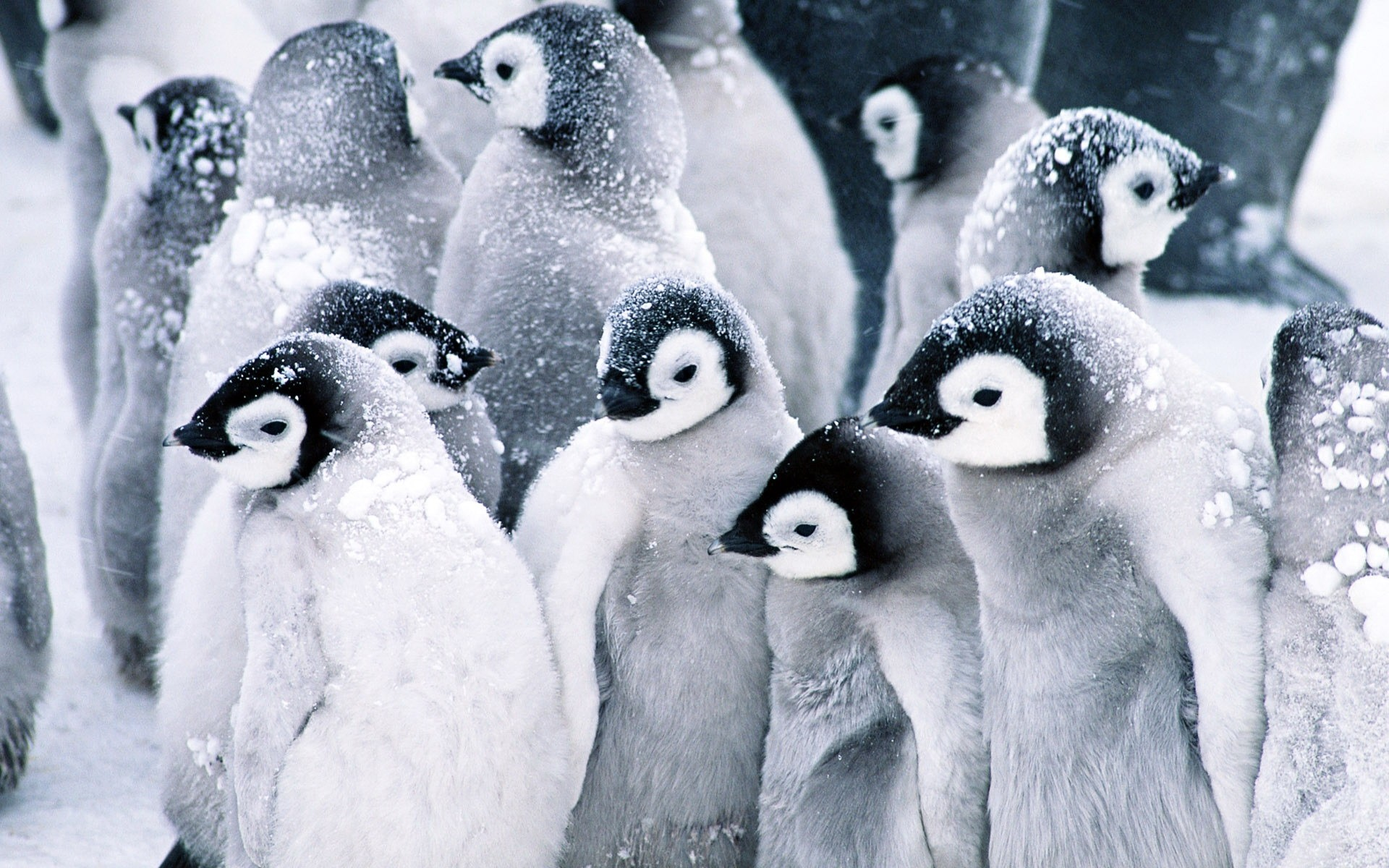 Penguins And Snow Wide