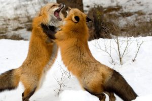 Playful Red Foxes Wide