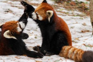 Playfull Red Pandas