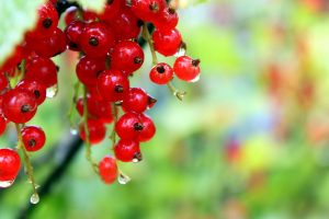 Red Currant In Focus