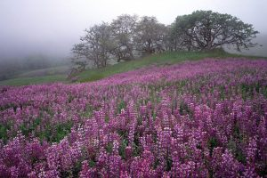 River Lupines In Fog Red