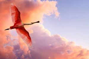 Roseate Spoonbill Flying Wide