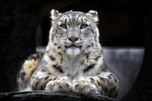 Snow Leopard Wide