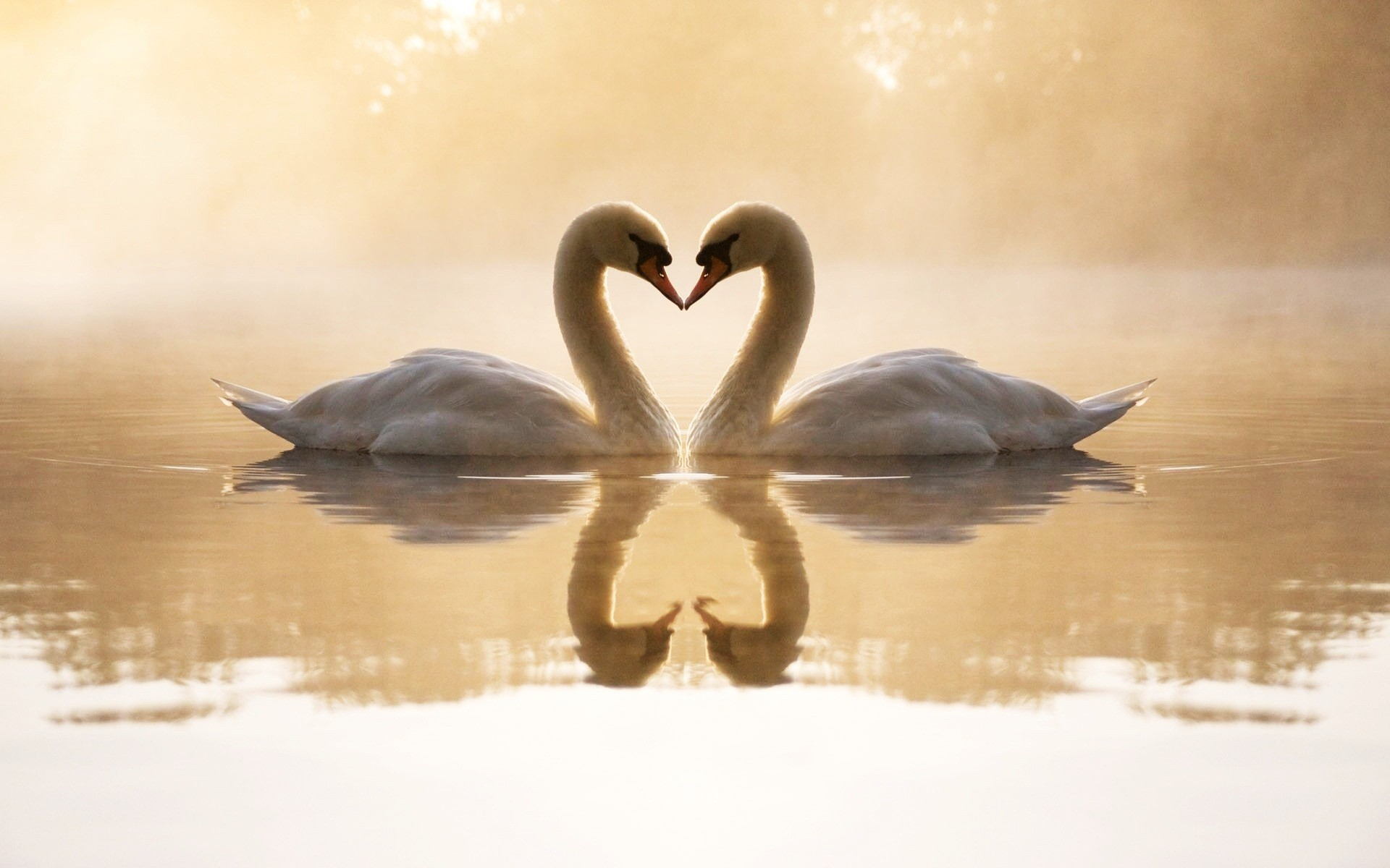 Swans In Love Wide