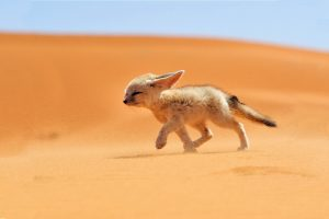 Sweet Sahara Desert Fox