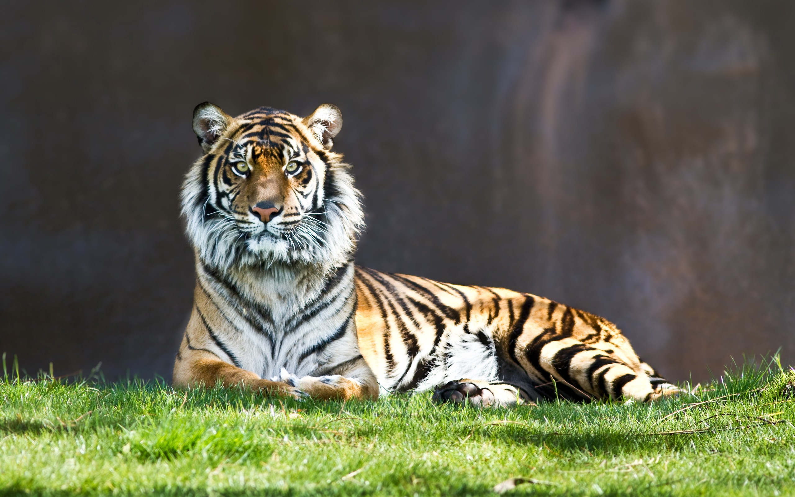 Tiger Staring At Camera Wide