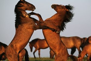 Two Beautiful Horses Playing National Geographic