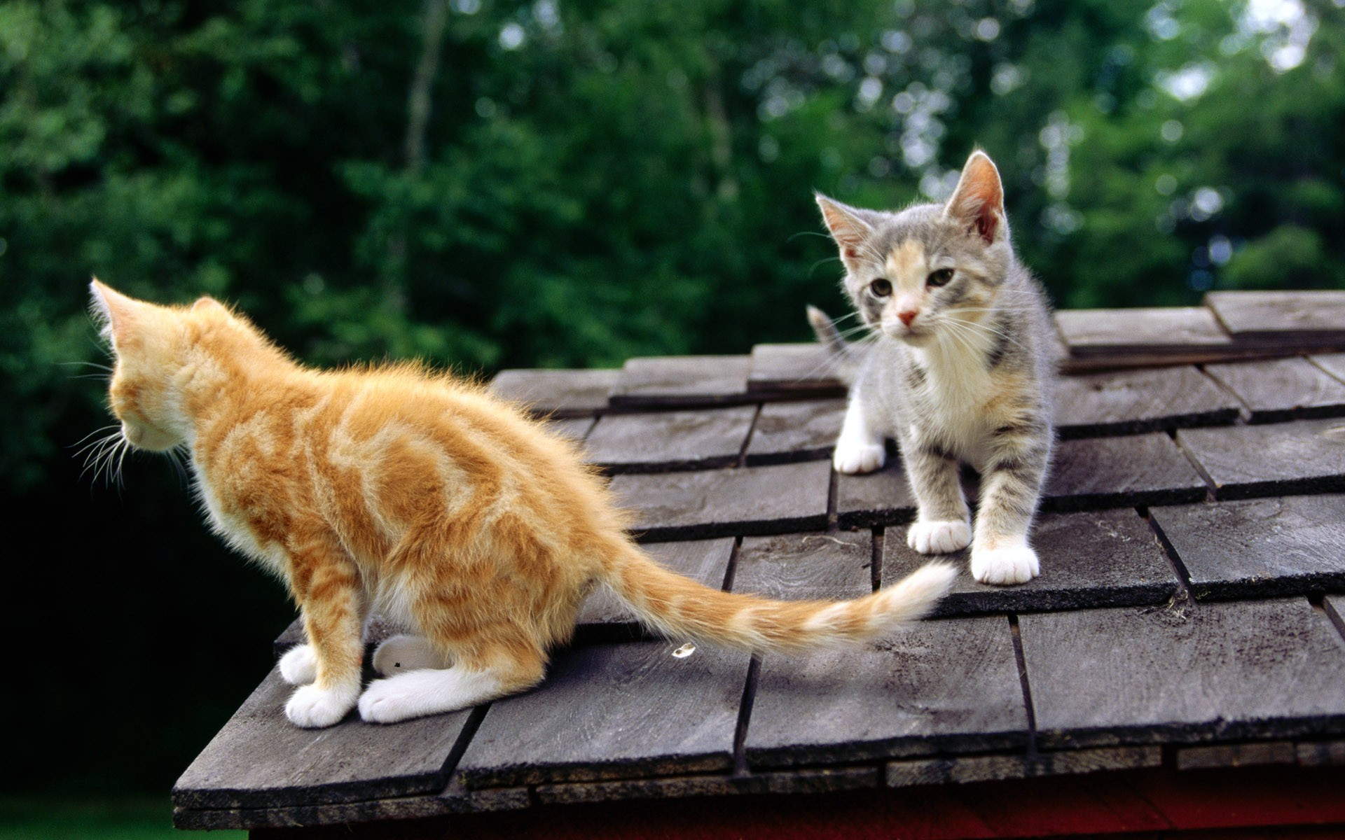 Two Cats On Roof Wide