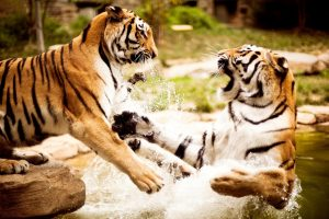 Two Tigers Playing Wide