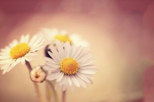 White Daisies Wide