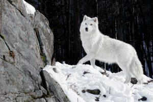 White Fluffy Wolf-Other