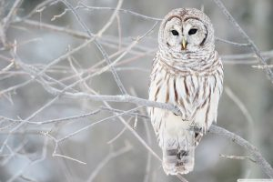 White Owl On Branch Wide