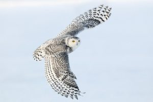 White Snowy Owl Wide