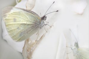 White – Yellow Butterfly